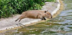 Baby Capybara (HollyBerry255)
