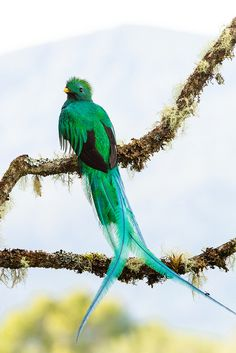 Resplendent Quetzal (COSTA RICA)