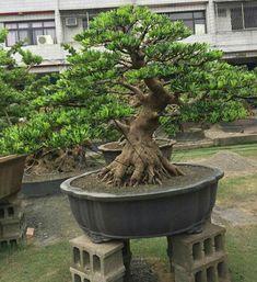 The Slanting Style in Bonsai - Gardening Site