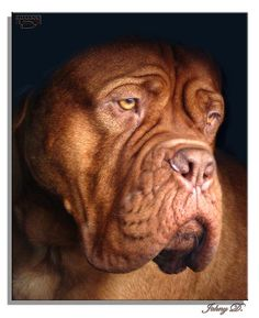Dogue de Bordeaux | This is probably the best retouching job… | Flickr