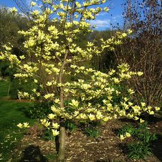 Our garden journal another magnificent magnolia yellow bird magnolia brookliska yellow bird mightylinksfo Gallery