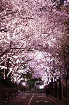 Cherry blossom tunnel in Roppongi, Tokyo, Japan