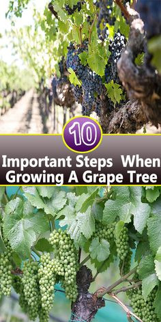 Do you enjoy grapes and wine but not their high price? Enjoy the fruit & make your own wine by growing a grape tree or grapevine in your backyard! Grape Tree, Grape Vines, Fruit Garden, Vegetable Garden, Box Garden, Gardening For Beginners, Gardening Tips, Container Gardening, Hydroponic Herb Garden