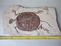 Rock of ages turtle fossil. Way cool!