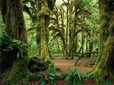 At the Hall of MossesTrail in the Hoh Forest - Olympic National Park, Washington, USA. World Heritage Site since 1980