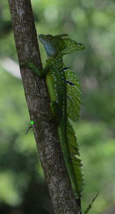 Green Basilisk, Tortuguero National Park, Costa Rica | Part of the iguana family, green basilisks grow to about 2 feet (61 centimeters) in length, including their long, whip-like tail.