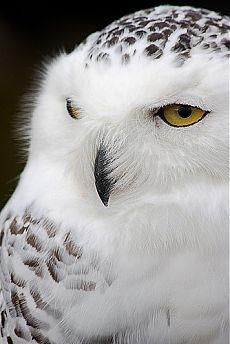 """Owl: """"Close-up Photograph."""""""