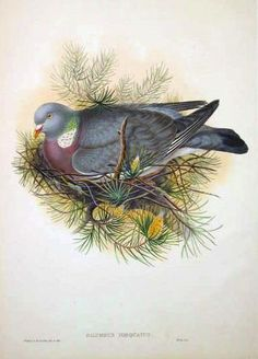 From John Gould's 'Birds of Great Britain', published in 25 parts 1862-1873. A Wood pigeon rests on a pine branch.