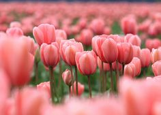 pink tulips -