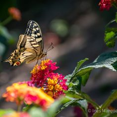 Beautiful butterfly laying on a colourful lantana. Summer vibes. Nature beauty. Magnificent butterfly. Wall decor. House decor. Animal print.