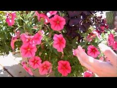 How to Keep your Petunias Looking Full and Flowering - YouTube