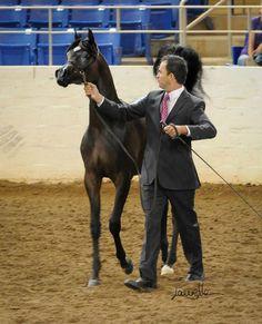 Arabian Horse - Pitonisa AS - AHAA - Region 7