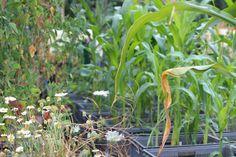 Growing sweetcorn at the Prinzessinnengarten, Berlin