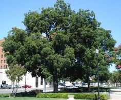 Elliot Pecan Tree for Sale | Fast-Growing-Trees.com | Don't forget about the Elliot Pecan trees' perfect match, The Pawnee Pecan tree. Elliot and Pawnee Pecan trees need each other in order to cross-pollinate and produce tons of nuts. Elliot Pecan Trees are drought tolerant, and able to withstand the dry and hot conditions...cold hardy to -10F degrees. Mature Height: 70-100 ft. Mature Width: 60-70 Ft. Sunlight: Full to Partial Drought Tolerance: Good