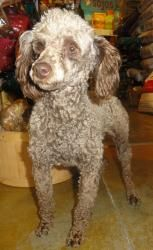 Princess Tatina is an adoptable Poodle Dog in Omaha, NE. If you are interested in adopting, please fill out an ADOPTION APPLICATION .  Sweet little Chocolate Poodle, Princess Tatina is looking for a l...