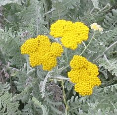 Happy in poor soil. Hot and dry hardy. Achillea, Outdoor Rooms, Yellow Flowers, Herbs, Garden, Cactus, Landscaping, Succulents, Spices