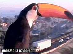 A Toucan Finds A Traffic Cam