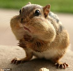 Cheeky chipmunk has his hands (and mouth) full storing nuts after awaking from hibernation