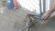 Kind humans rescue a fox from chain link fence