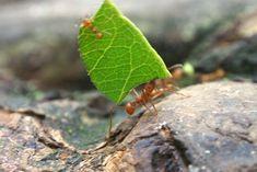 Fourmis coupe-feuilles champignonnistes (Costa Rica 2013) - 5 septembre 2020 - La photo du jour