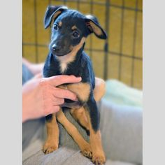 BJ- BJ is a miniature pinscher mix.  BJ is five months old and needs some serious work on housetraining.  He would do best in a home with older dogs that he could emulate and that could teach him the proper rules for pottying.  His foster mom is working on getting him puppy pad trained and crate trained.  He's an extremely lively little guy that would not do well as a pampered pooch.  He's also an affectionate little guy and does well with cats and other dogs.