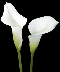 Calla lilies will also be in the bouquet...whether they're white or red, I have not decided.