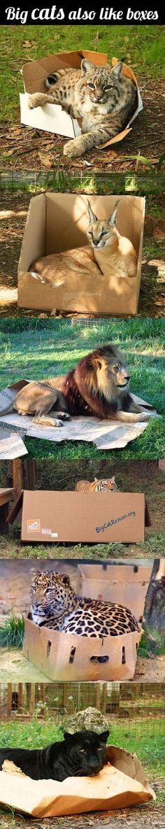Ook grote katten houden van dozen.