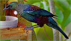 Attracting and Feeding New Zealand Tui Backyard Plan, Backyard Garden Design, Backyard Birds, Tui Bird, Weather Underground, Wild Birds, Pet Birds, Birds 2, Beautiful Birds