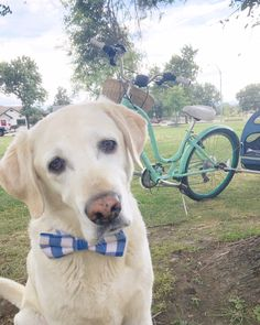 Perry's Bowtique is a unique online shop created simply to provide the best handmade accessories for all stylish pets out there. Made in Kelowna BC, Canada Bow Ties, Labrador Retriever, Dog Cat, Pets, Animals, Labrador Retrievers, Animales, Animaux, Animal