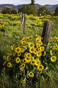 Pretty yellow flowers abound out on this part of the ranch. The grass is thick and wildflowers are verywhere......