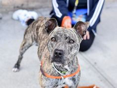 BLEU - A1092779 - - Brooklyn  Please Share:TO BE DESTROYED 10/14/16 **NEW HOPE RESCUE ONLY** One look at Bleu and anyone can see she is a special girl. A 2-3 year-old, brindle and white, mix between a Greyhound and an American Pitbull Terrier, she is a beauty. She has lived with other dogs, adults, and children ages 10 and above. But tonight Bleu is living, possibly for the last night, in a cement kennel with bars. Why? Her family moved and decided they just couldn't