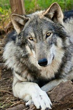 Lovely She Wolf Simply Taking it Easy.