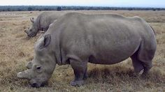 Death Of Northern White Rhino leaves Only Six Left in Existence~ According to a recent report from the World Wildlife Fund and the Zoological Society of London, the Earth has lost half its vertebrate species — mammals, birds, fish, reptiles, and amphibians — since 1970.