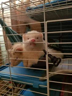 Baby Ferrets, Funny Ferrets, Pet Ferret, Animals And Pets, Baby Animals, Funny Animals, Cute Animals, White Ferret, My Little Baby