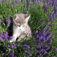 A Kitten amongst the lavender ~ she must smell heavenly! - #cat gatto of @ A. #neighbours vicina. Female. 2012. #greyandwhite
