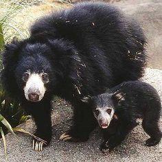 Sloth bear momma and baby Sloth Bear, Baby Sloth, Panda Bear, Sri Lanka, Nepal, Baby Animals, Cute Animals, Animal Babies, Spectacled Bear