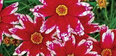"""Coreopsis Ruby Frost. Not your typical Coreopsis! Magnificent ruby-red flowers are frosted at the tips with pure, snowy white—a real breakthrough in colour! Plants are neat and compact, and holeheartedly  devoted to flower production. Butterflies love them, but deer do  not. Drought tolerant, too. 18-24"""" Tall. Full Sun. Zones 6-9"""