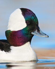 Bufflehead duck Deep Winter Colors, Dark Winter, Winter Images, World Images, Winter Scenes, Beautiful Images, Canada, Colours, Bird