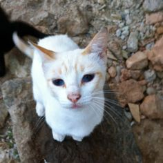 #9 - Lolita   Hembra esterilizada en febrero del 2014. Hermana de Rabino.   En julio del mismo año la atropellaron y hubo que operarla de una fractura de fémur. Ahora se llama Rulita y está felizmente adoptada.Ràpita Felina - Gats - Gatos - Cats - Chats - TNR - CES - https://www.facebook.com/rapitafelina