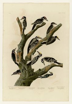 417 I. Maria's Woodpecker - 2. Three-toed Woodpecker - 3. Phillips' Woodpecker…