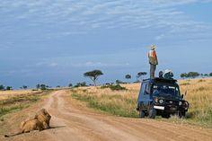 Geen leeuw te bekennen op safari