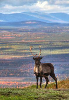 Reindeer in Finnish Lapland,  photo by Tarmo Heinänen