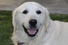 This is Dreamy - 2 yrs. He was sitting unclaimed at a shelter. He is neutered, current on vaccinations, potty trained, good with dogs and kids over age 8 yrs. Not cat tested. He would benefit from obedience class. Needs leash work. He cries a bit when left alone. Dreamy is an English Cream Golden. Southern California Golden Retriever Rescue. http://scgrrescue.org/dogs/meet-dreamy/#sthash.TPQSTfme.dpbs