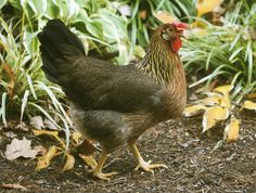 Backyard chickens? Give them a 'food forest'