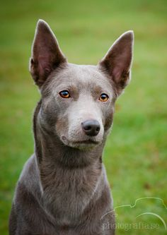 Fawn Australian Kelpie, I've never seen one in this colour before.