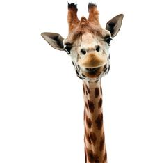 Muursticker Giraffe van Studio Bluebird