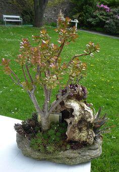 Aeonium, Crassula Ovata, Bonsai, Jade, Indoor, Gardens, Succulents, Plants, Flowers