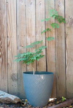 Wisteria, a commonly aggressive vining plant, can be grown in a potted planter to contain and train beautiful plant cover without letting it get unruly.