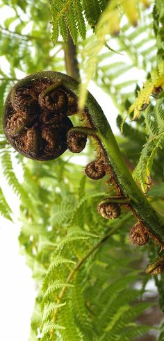 Koru Fern - Aotearoa, NZ Ferns Garden, Garden Trees, Shade Garden, New Zealand Landscape, Nz Art, Kiwiana, South Island, Exotic Flowers, Home And Away