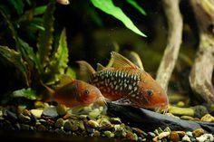 C. Pantanalensis, photos from 孫文謙